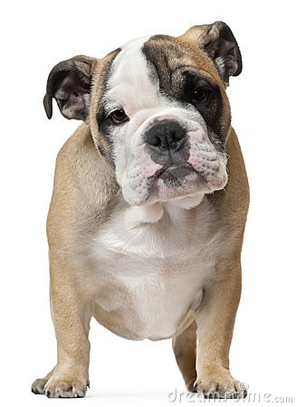 English Bulldog puppy, 11 weeks old, standing