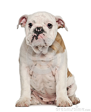 English Bulldog puppy, 4 months old, sitting