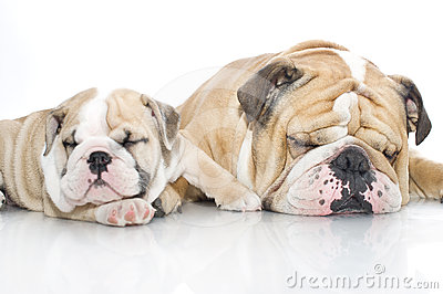 English bulldog puppy with adult bulldog isolated