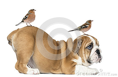 English Bulldog Puppy bottom up with two common chaffinch on head and tail