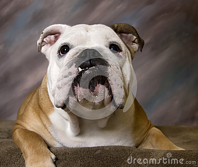 English Bulldog smiling portrait