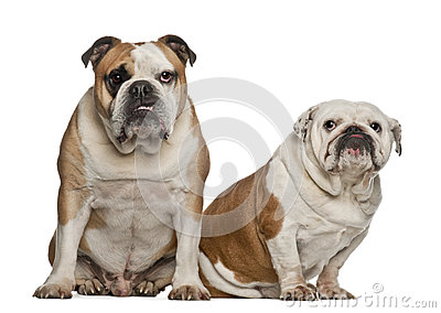 English bulldogs, 5 years old