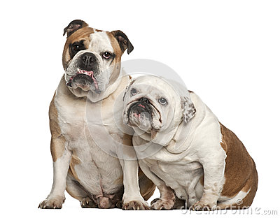English bulldogs, 5 years old, sitting
