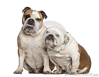 English bulldogs, 5 years old, sitting