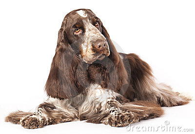 English Cocker Spaniel Stock Images - Image: 23294714