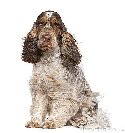 English Cocker Spaniel, 30 months old, sitting