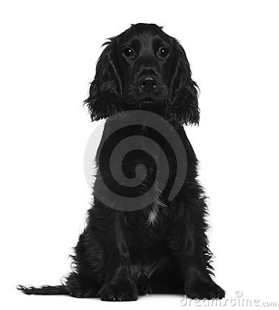 English Cocker Spaniel, 5 months old, sitting