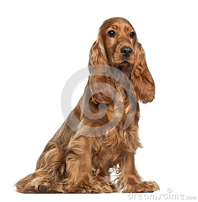 Free English Cocker Spaniel, 9 Months Old, Sitting Royalty Free Stock Photos - 25102848