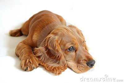 English Cocker Spaniel Baby Dog