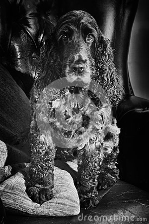 English Cocker Spaniel blue roan in black and white