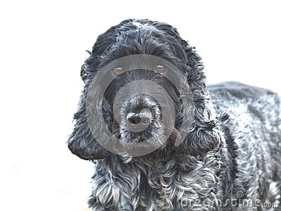 English Cocker Spaniel blue roan