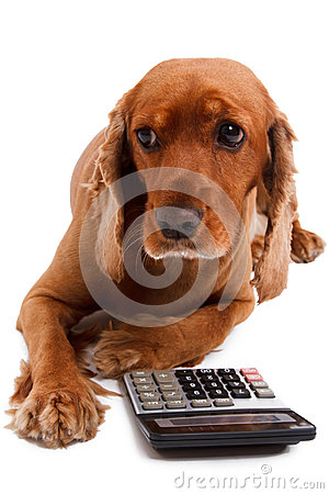 Free English Cocker Spaniel Dog And Calculator Stock Photography - 32913512
