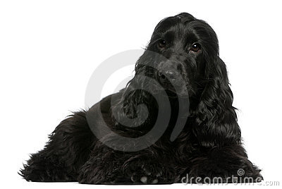 English Cocker Spaniel puppy, 5 months old