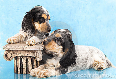 English cocker spaniels Puppies