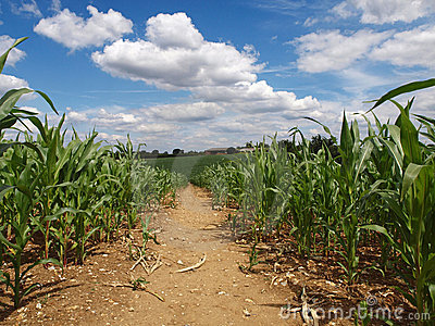 English Countryside farming -agriculture corn