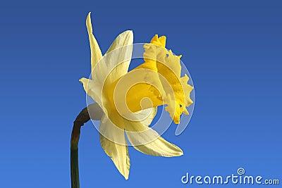 English daffodil flower.