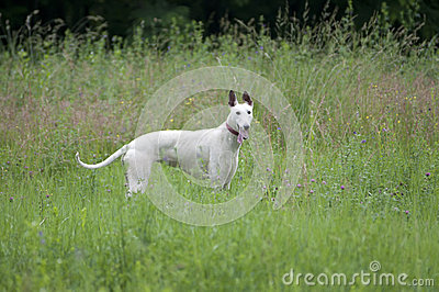 English greyhound portrait