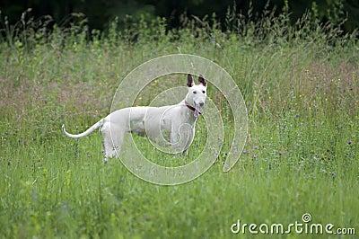 English greyhound portrait