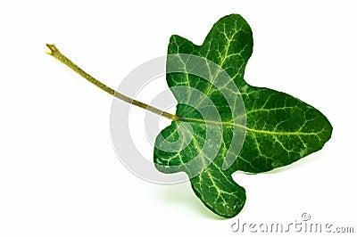 English Ivy leaf