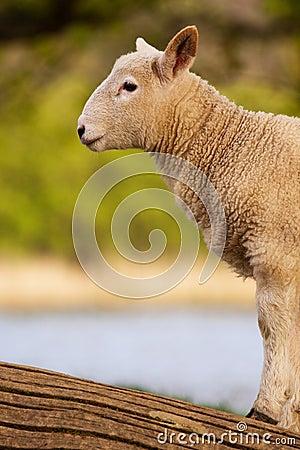 English Lamb