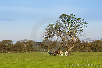 English landscape with grazing cattle