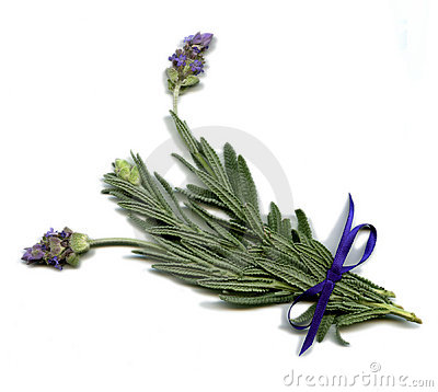 Free English Lavender Royalty Free Stock Photography - 1550797
