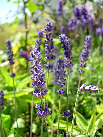Free English Lavender Royalty Free Stock Photography - 850977
