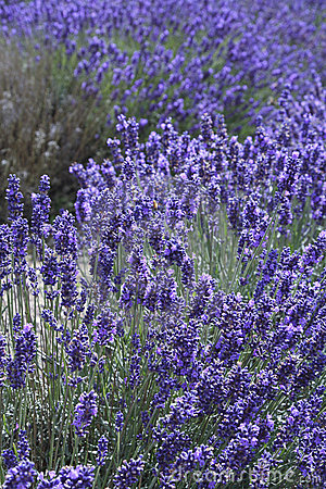 Free English Lavender In Blossom Nature Field Royalty Free Stock Photos - 5830558