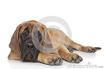 English mastiff puppy (5 month)