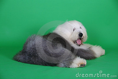 English old sheepdog