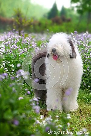 Free English Old Sheepdog Stock Photography - 5089262