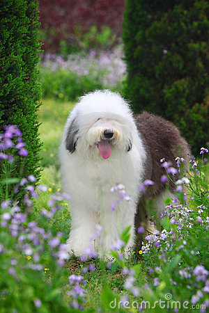 Free English Old Sheepdog Royalty Free Stock Photography - 5269777