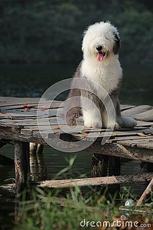 Free English Old Sheepdog Royalty Free Stock Image - 6483526