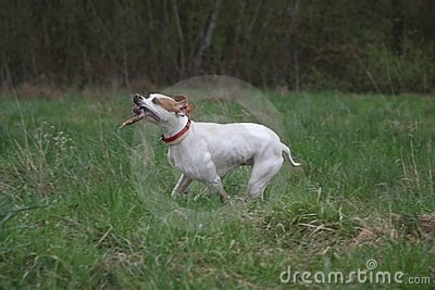 English Pointer dog with stick