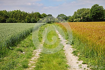An English Rural Landscape of Barley and Wheat