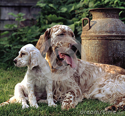 Free English Setter Royalty Free Stock Images - 34689259
