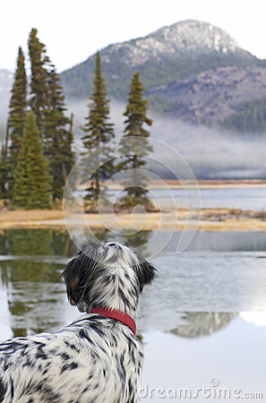 English Setter Bird Dog Looking Across a Lake