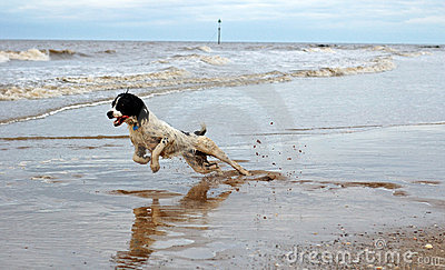 English Springer At The Beach