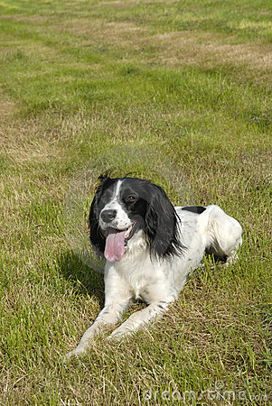 English springer spaniel lying down on the grass in a large field on a