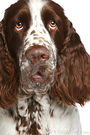 English Springer Spaniel. Close-up portrait