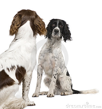 Free English Springer Spaniel Face To Face (1 Year) Stock Images - 7556994