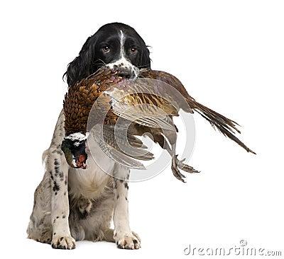 English Springer Spaniel hunting (1 year)