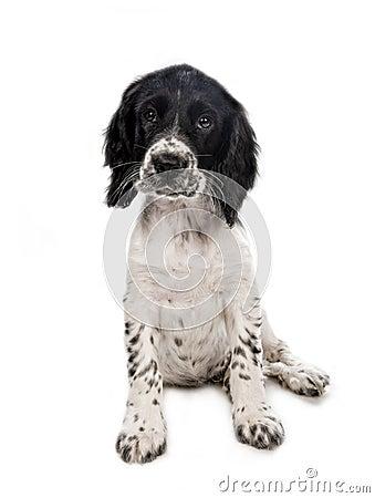 Free English Springer Spaniel Puppy Stock Photo - 25448620