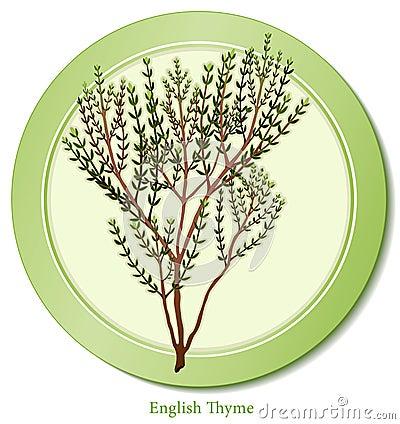English Thyme Herb