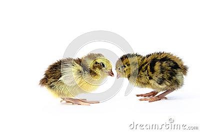 English tuxedo and Japanese quail species