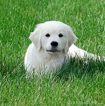 English White Retriever