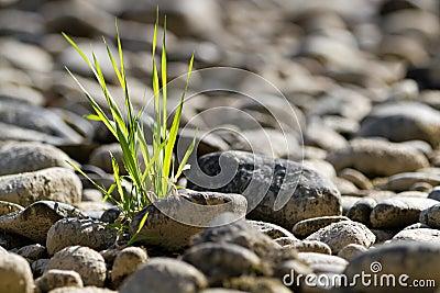 Enig bosje van gras in steenwoestijn