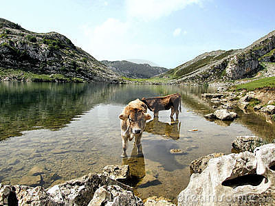 Cows in the Enol lake