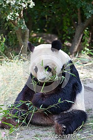 Enorm panda en björn