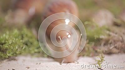 Enorma sniglar av ahaatinen klänger gräset, förhållandevis aktiva djur stock video